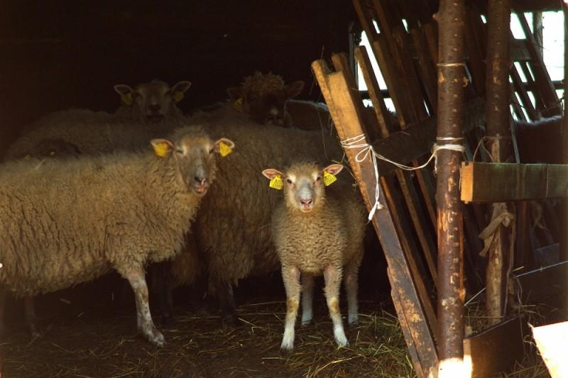 smiling sheep