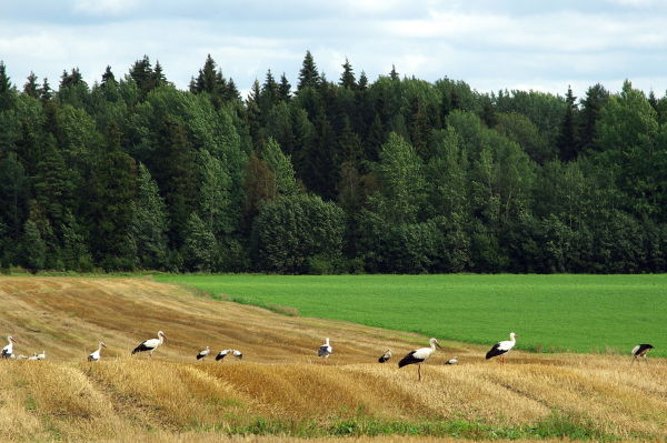 storks on the field