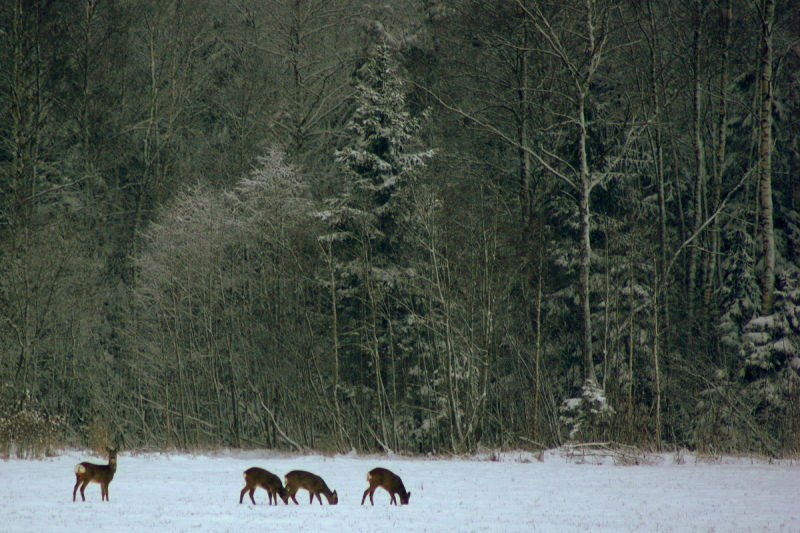 roe deer in the snowy forest