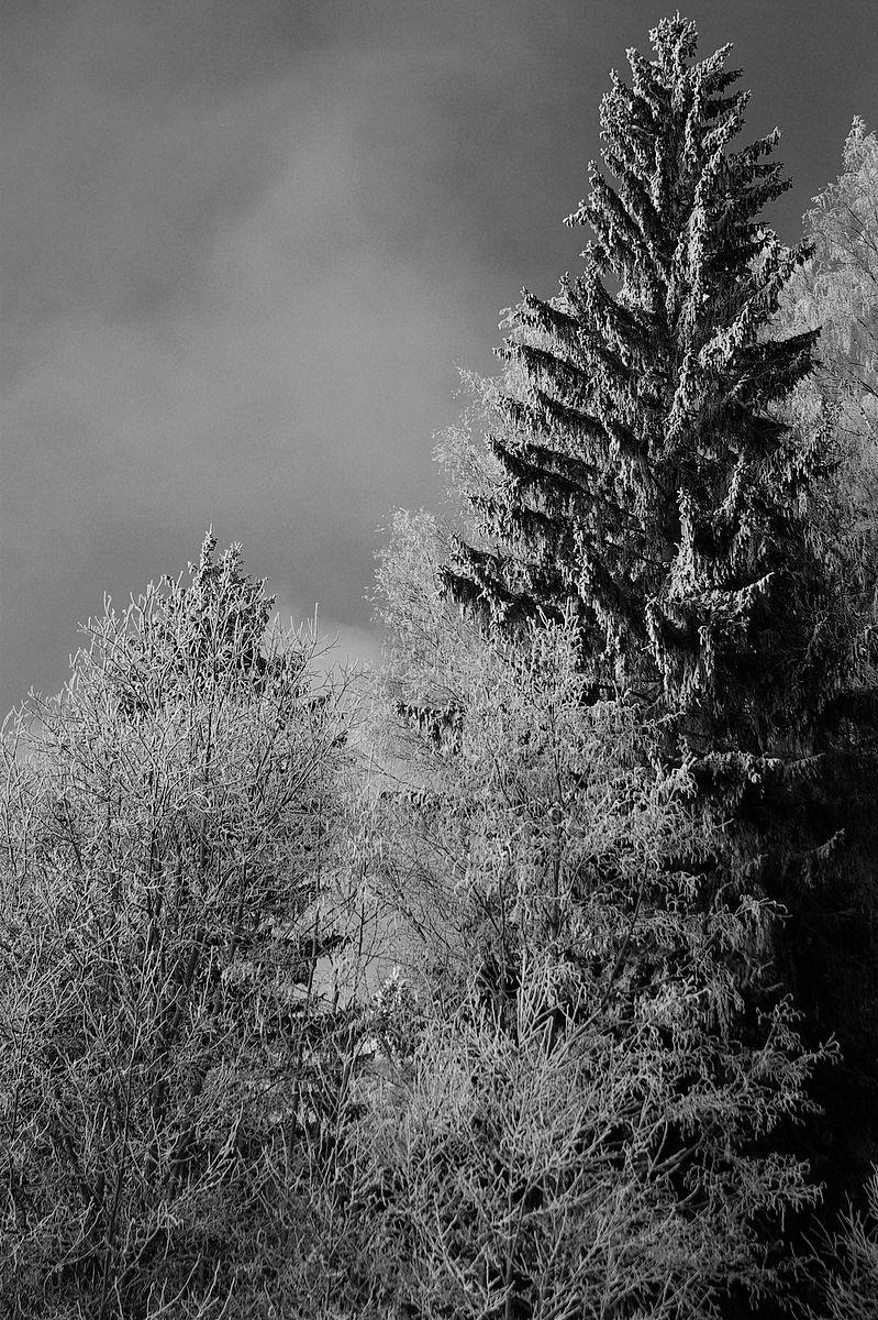 winter trees in b&w