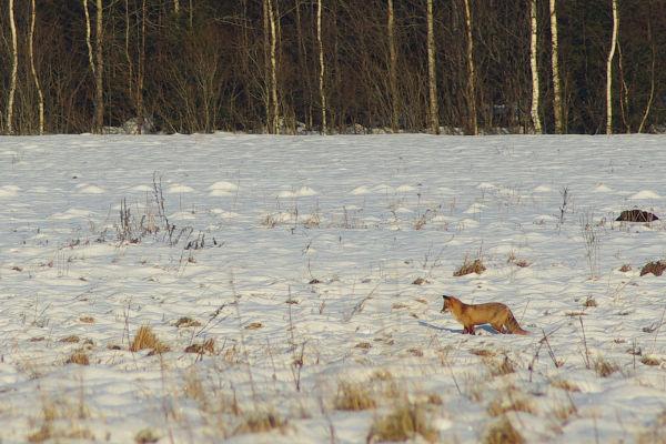 fox on the snowy field