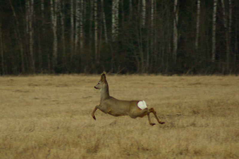 roe deer on the field