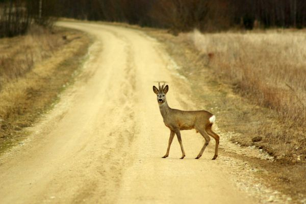 roe deer on the road
