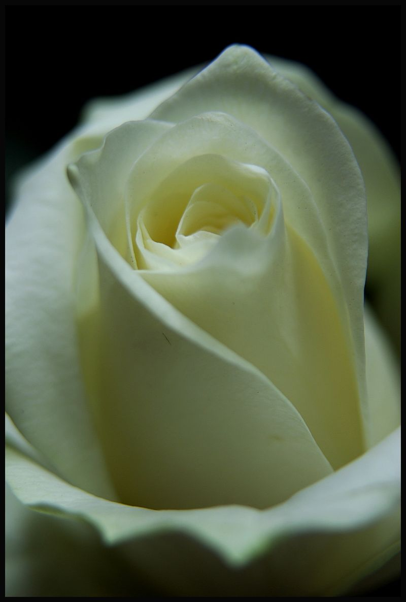 macro image of the white rose