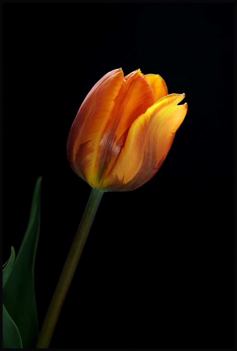 image of the orange tulip