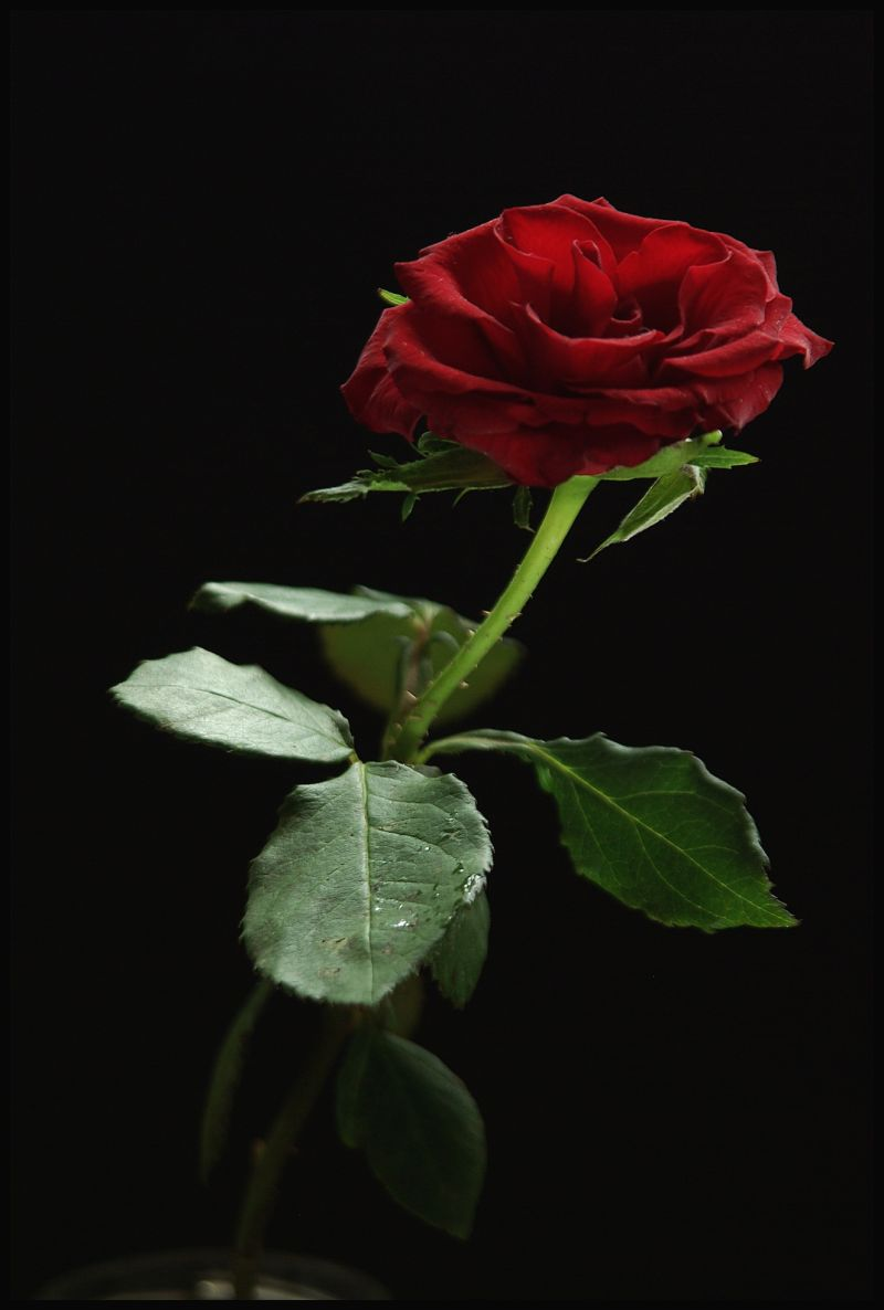 image of the red rose