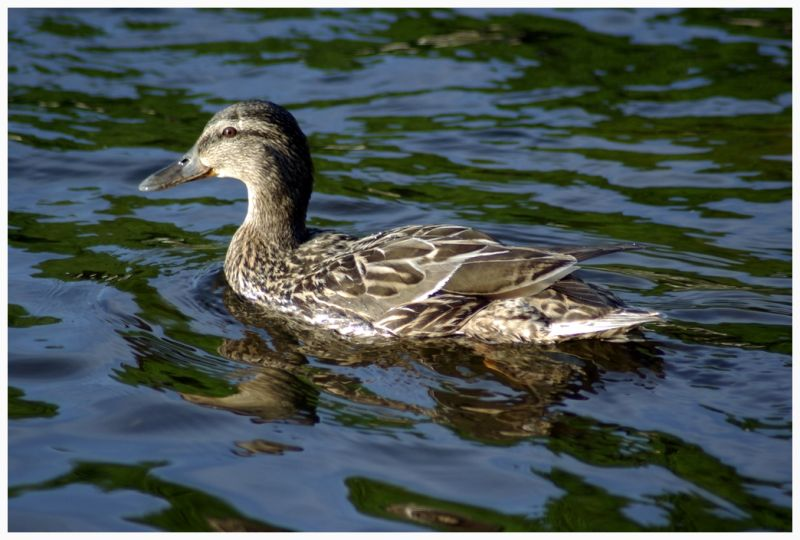 image of the duck on the water