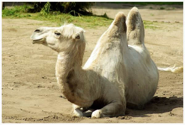 image of the white camel from the Tallinn Zoo