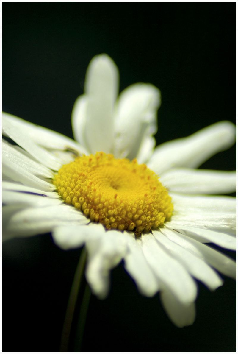 close-up image of the camomile