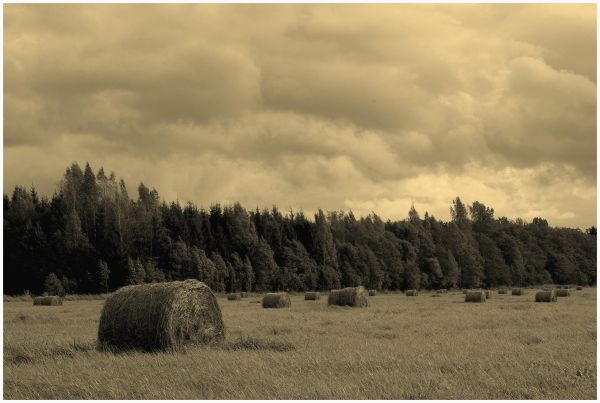 rolls of hay on the field