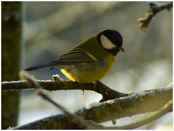 tit on the branch