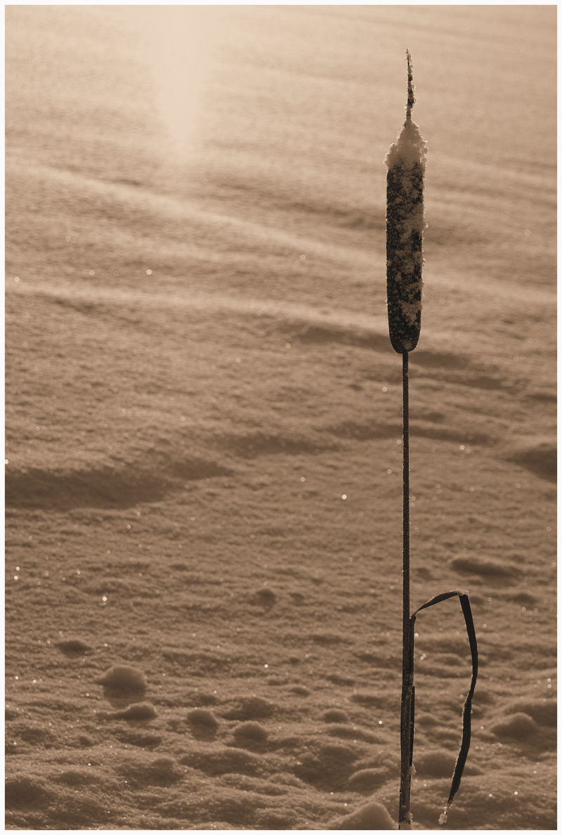 bulrush in winter time