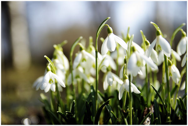 close-up image of the snowdrops