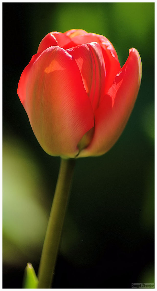 close-up of the red tulip
