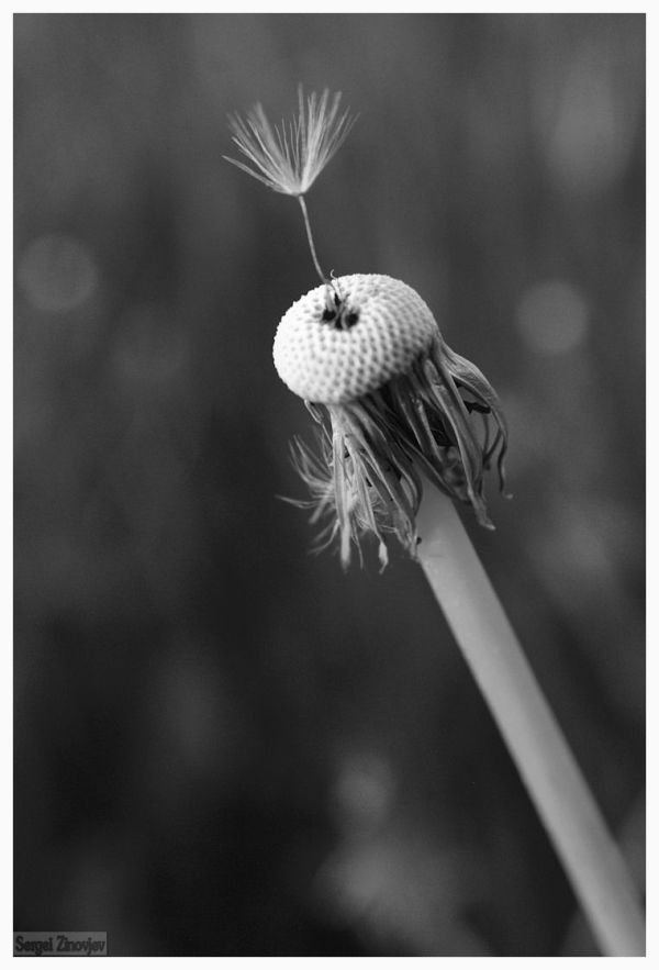 close-up of the dandelion