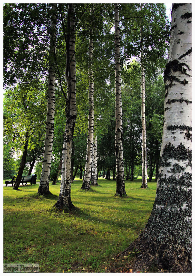 birch trees in park