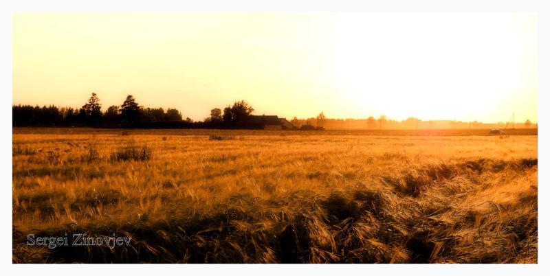 field of wheat in evening light