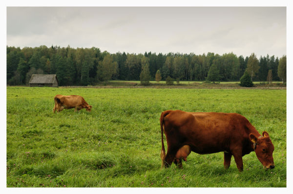 two cows outside