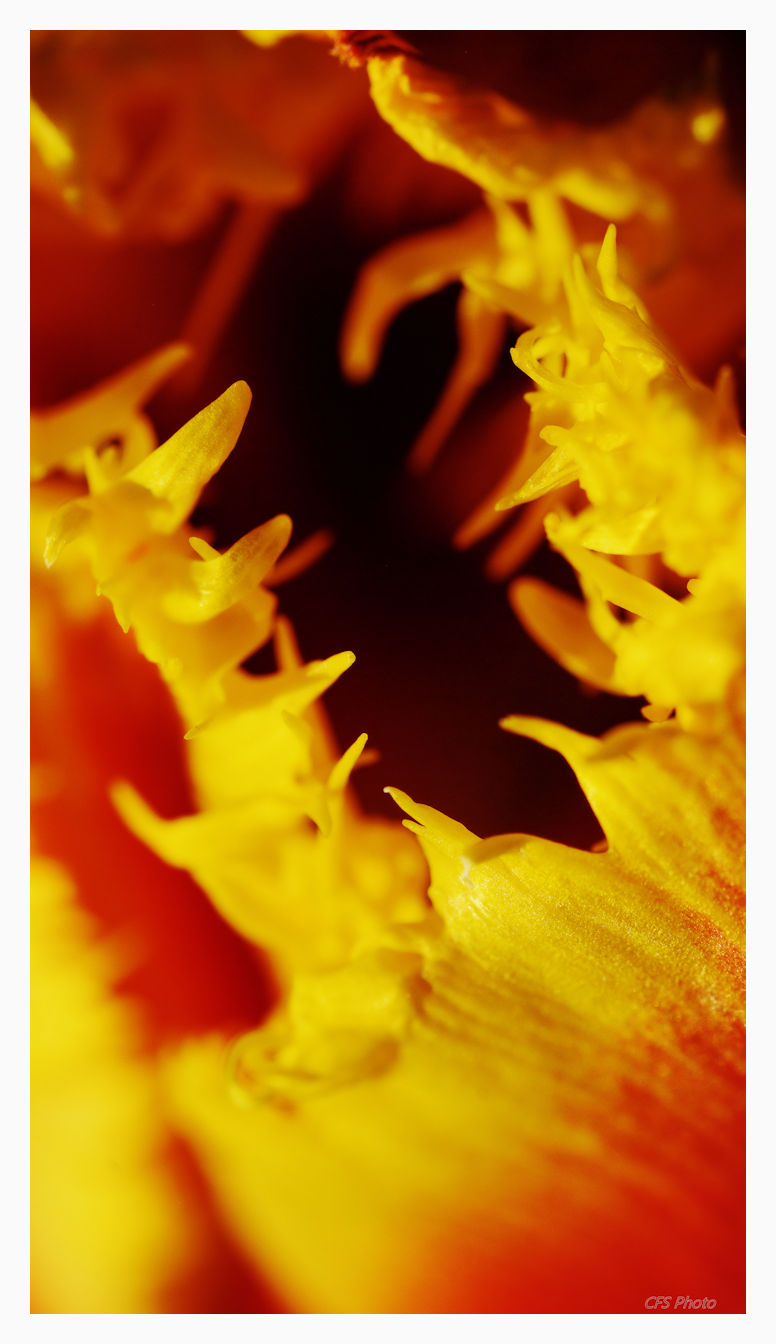 macro of tulip