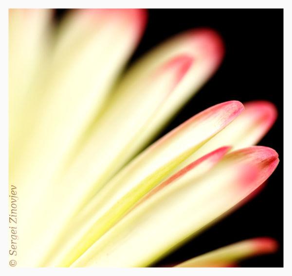 macro of gerbera petal
