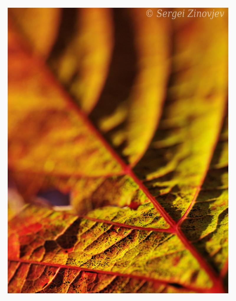 macro image of autumn leaf