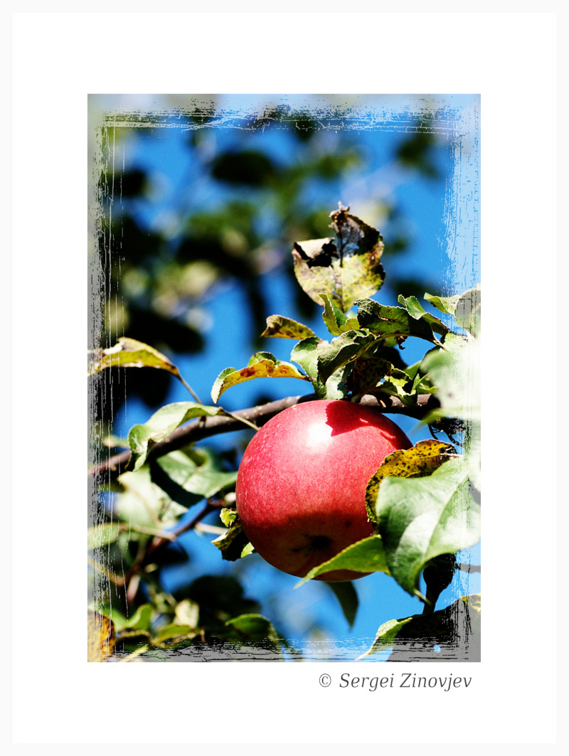 one apple on the tree