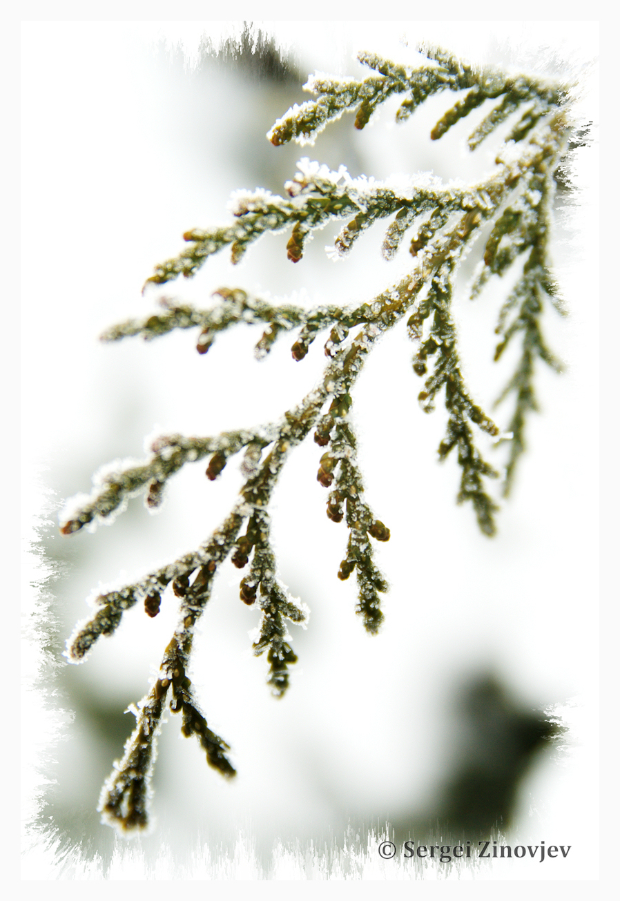 close-up of winter branch