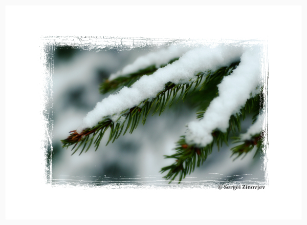 spruce brunch under snow