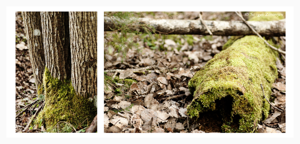 moss on trees in spring forest