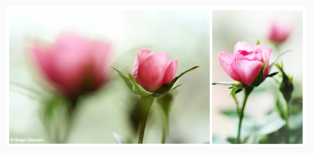 double image of pink roses