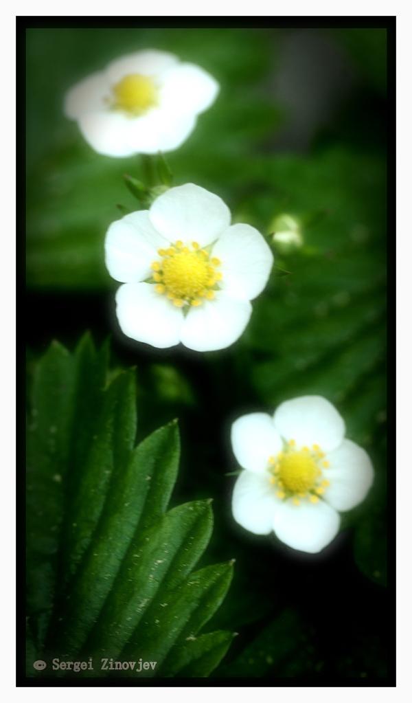 three strawberry flowers