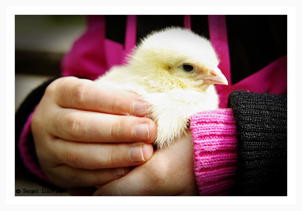 child holding chicken in her hands