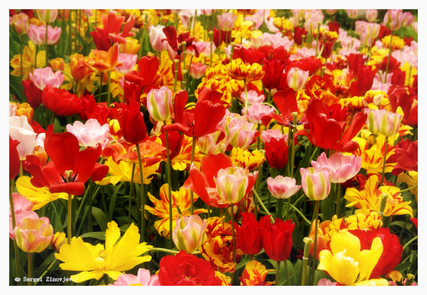 many colorful tulips
