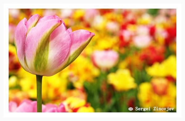 Pink tulip in beautiful garden.