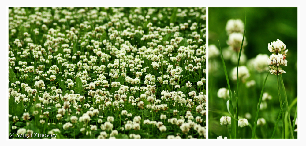 double image of clover - field and close-up view