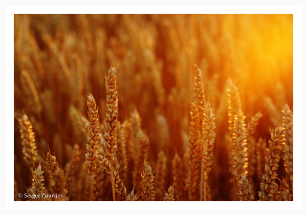 wheat in golden sun light