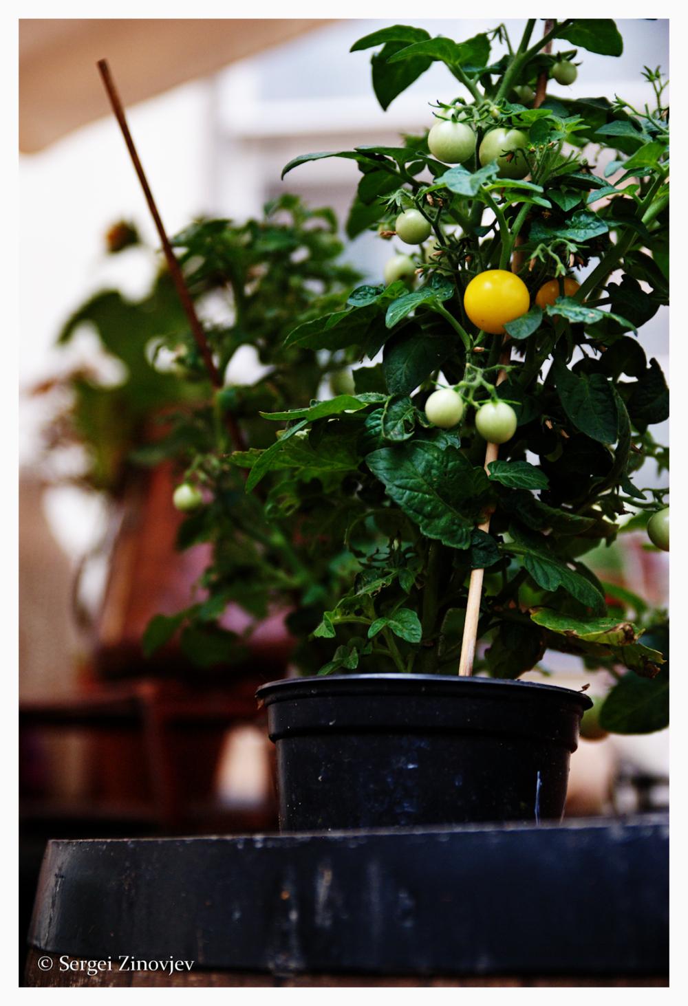 Yellow tomato plant