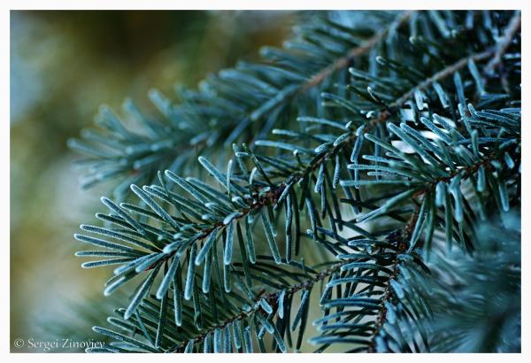 frosty pine branch