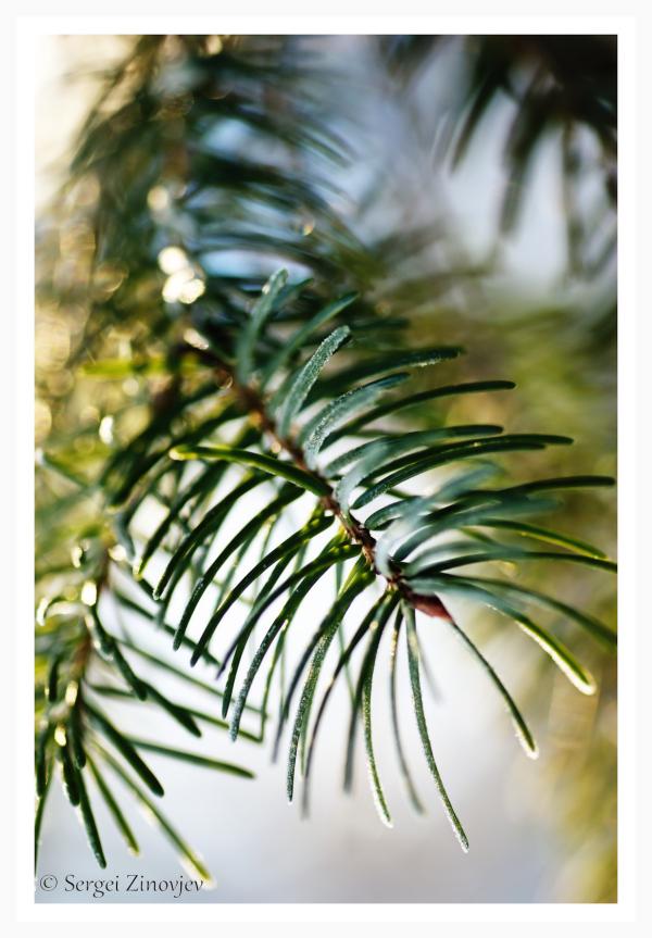 close-up of pine brunch