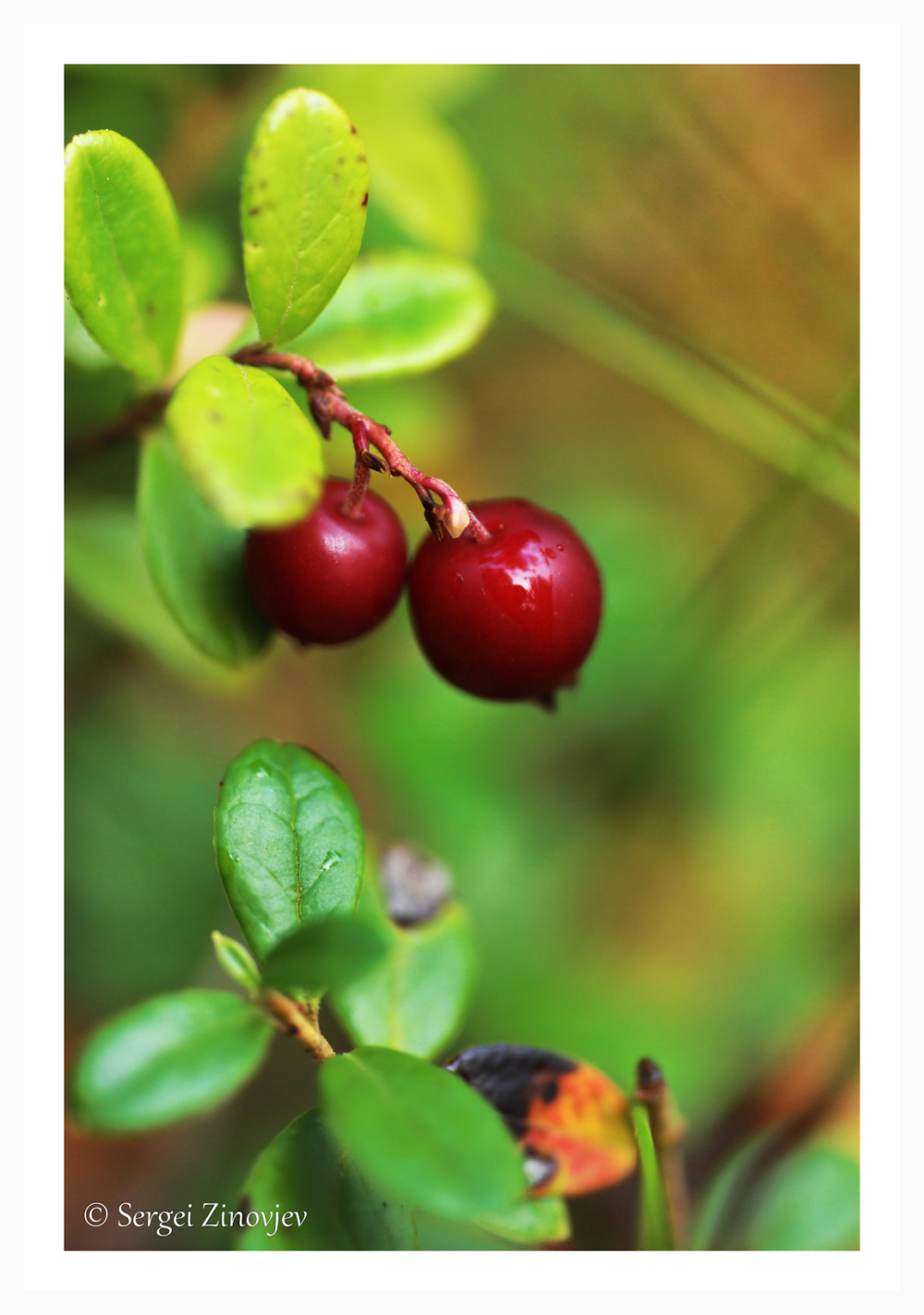 close-up of Lingonberry