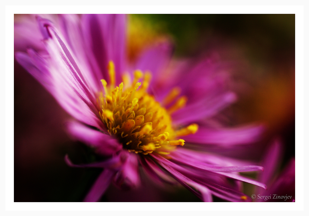 macro of New England Aster