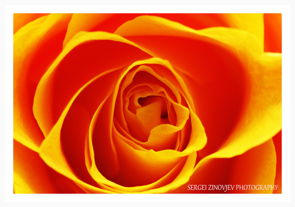 macro of yellow rose
