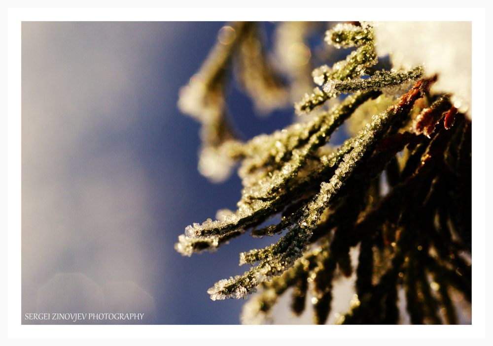 macro of frozen pine branch