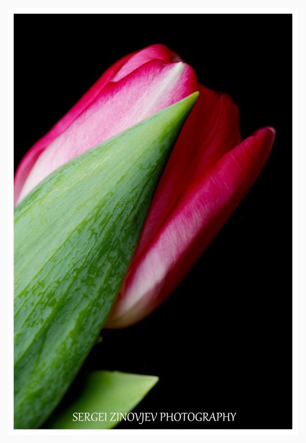 macro of pink tulip