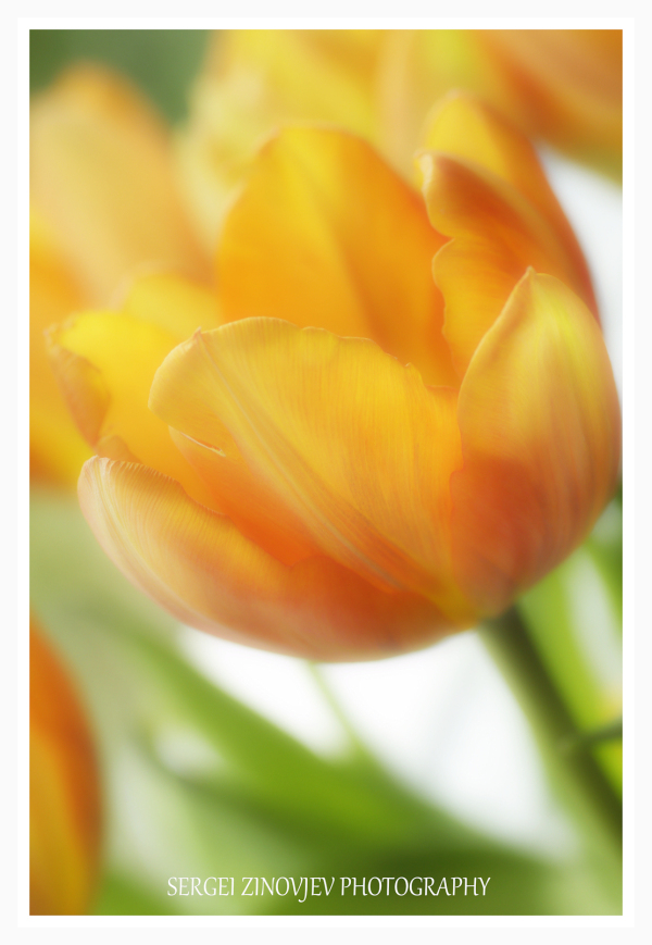close-up of yellow tulip in soft focus