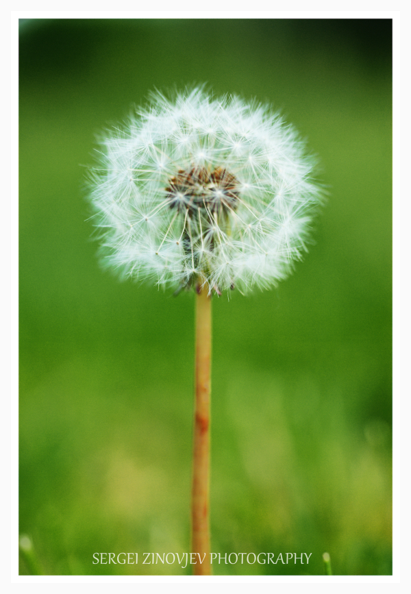 close-up of single dandelion