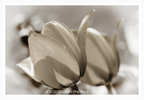 close-up of two tulips in sepia