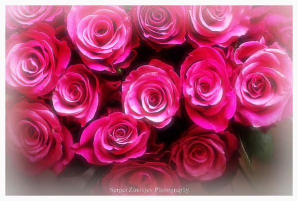 bouquet of pink roses in soft focus