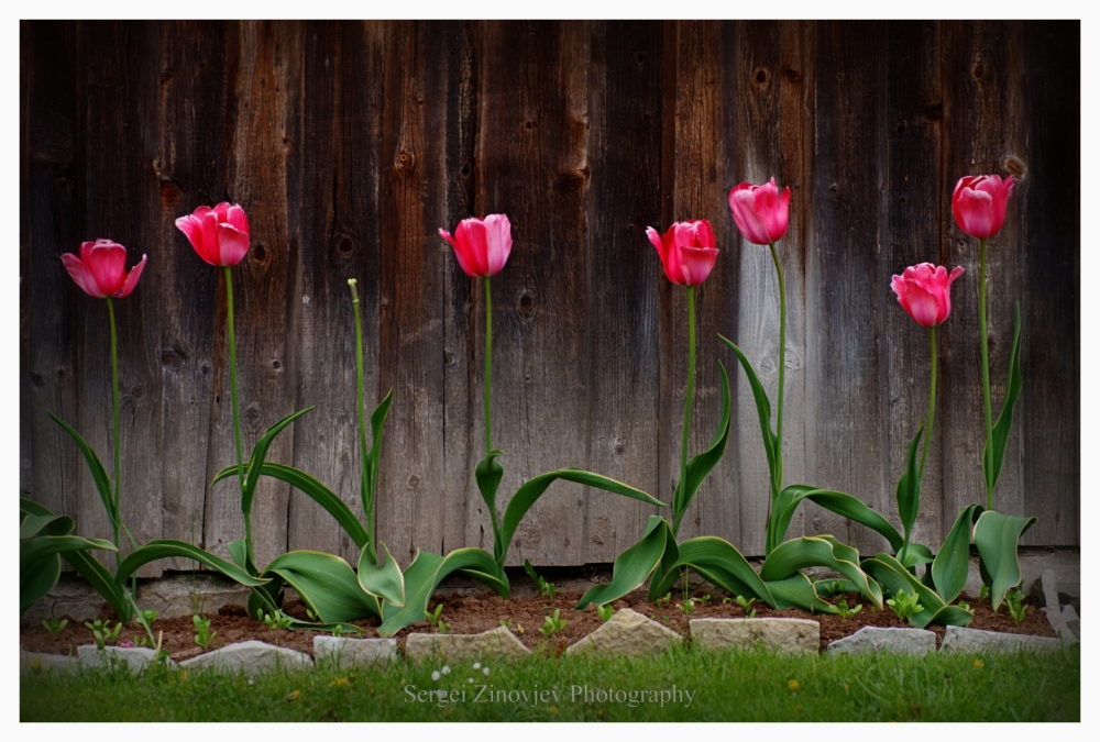 beautiful tulips by the wall of old house