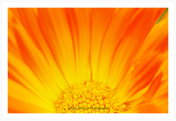close-up of calendula